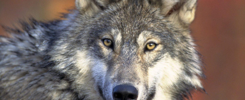 Grey Wolf Looking at Camera